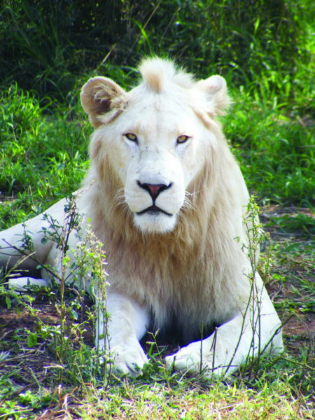 Thandeka Game Lodge in Bela Bela offers exciting game drives in Limpopo - experience the majestic white lion in an open vehicle along with an abundant variety of wildlife